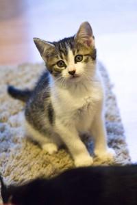 Cieszyńskie kociaki z Mogetu szukaja domów !!!